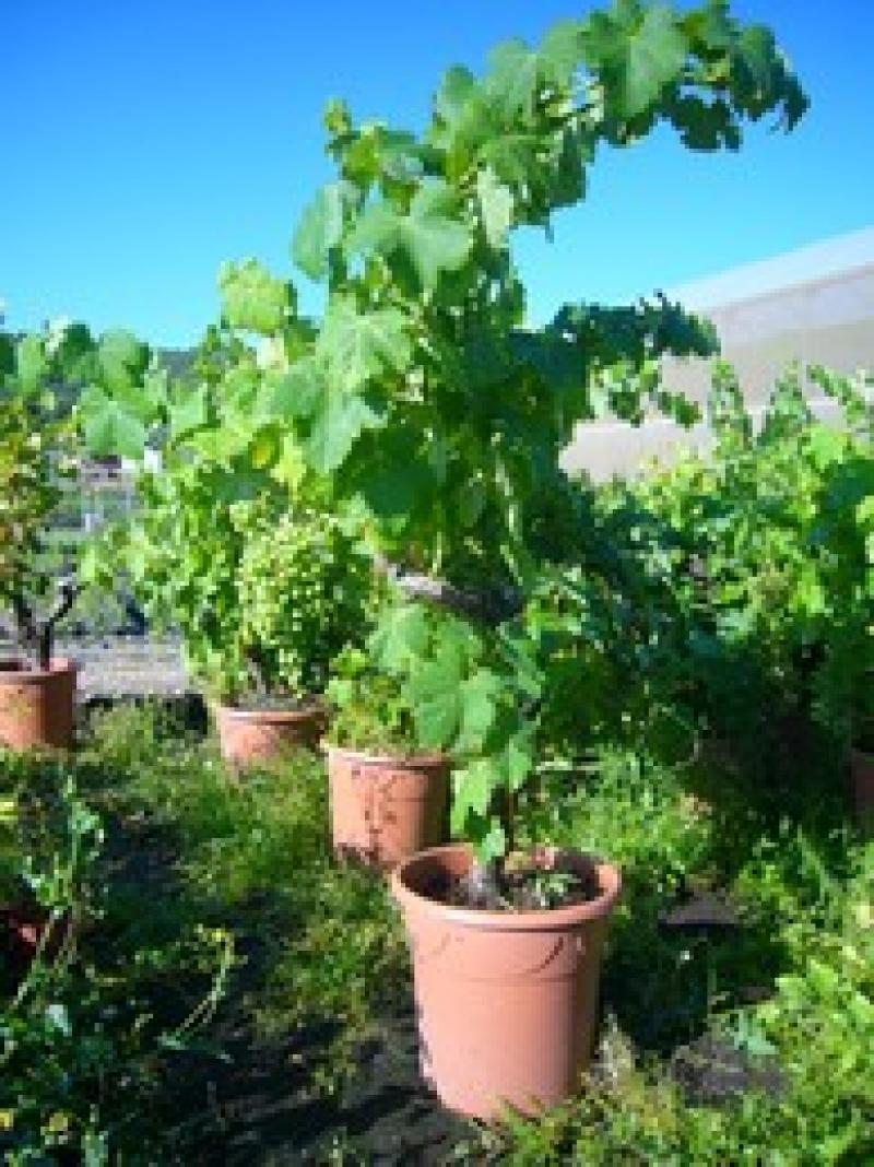 Cep de vigne - Pied de vigne en pot ...