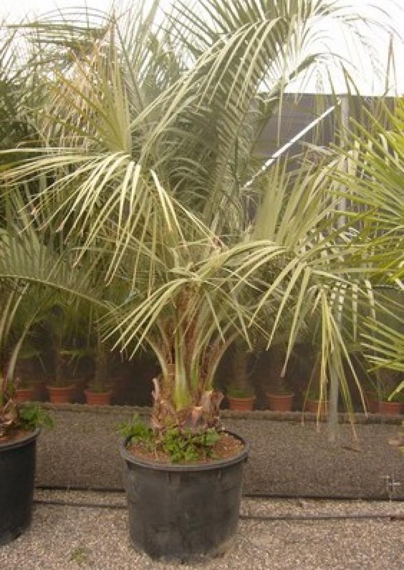 Butia capitata du br sil - Palmier resistant au froid ...
