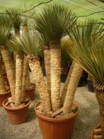 Yucca rostrata du mexique for Yuka exterieur