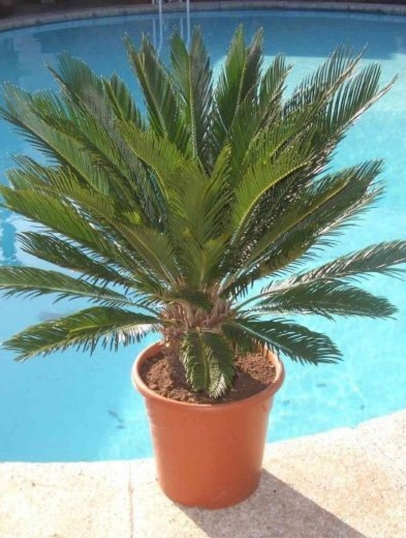Entretien palmier exterieur palmier en pot exterieur for Quel palmier en pot exterieur